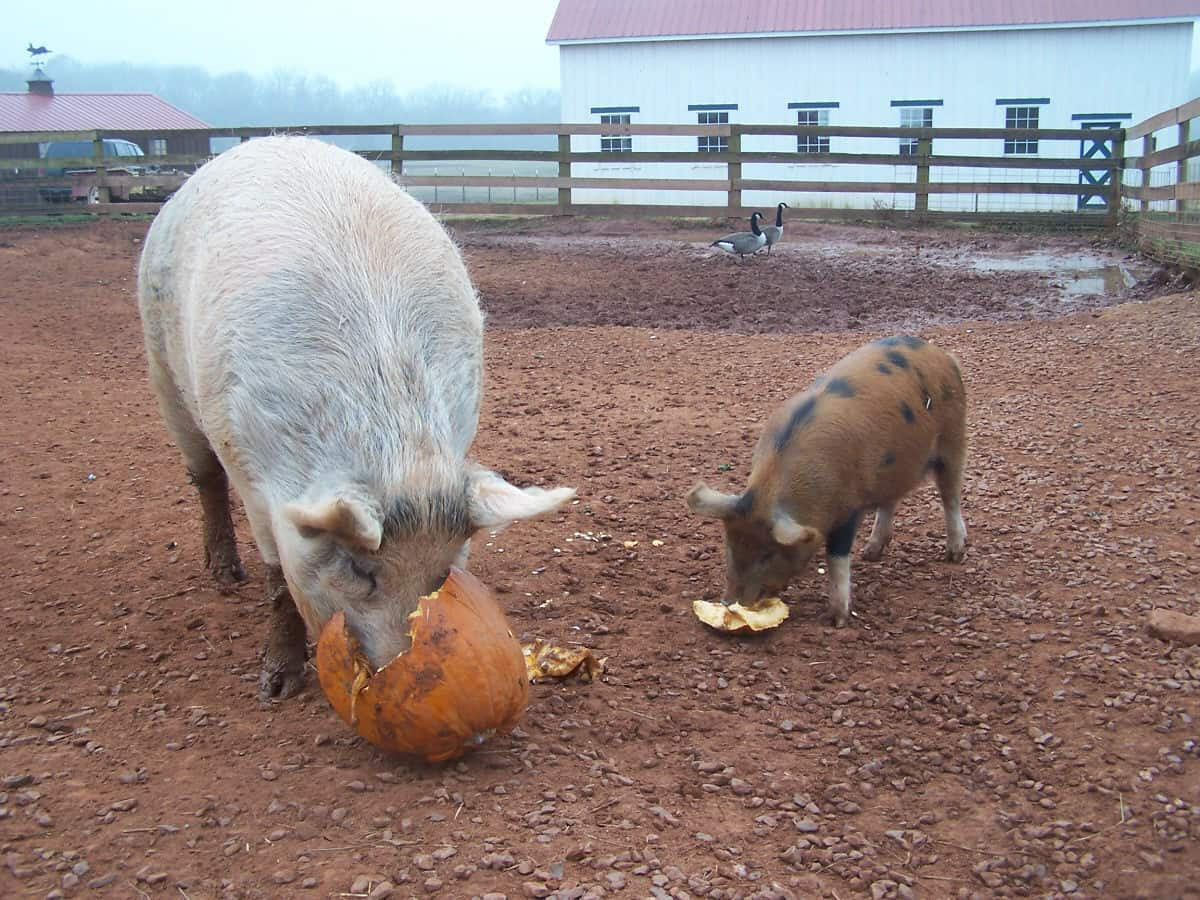 Isaac the pig and his friend