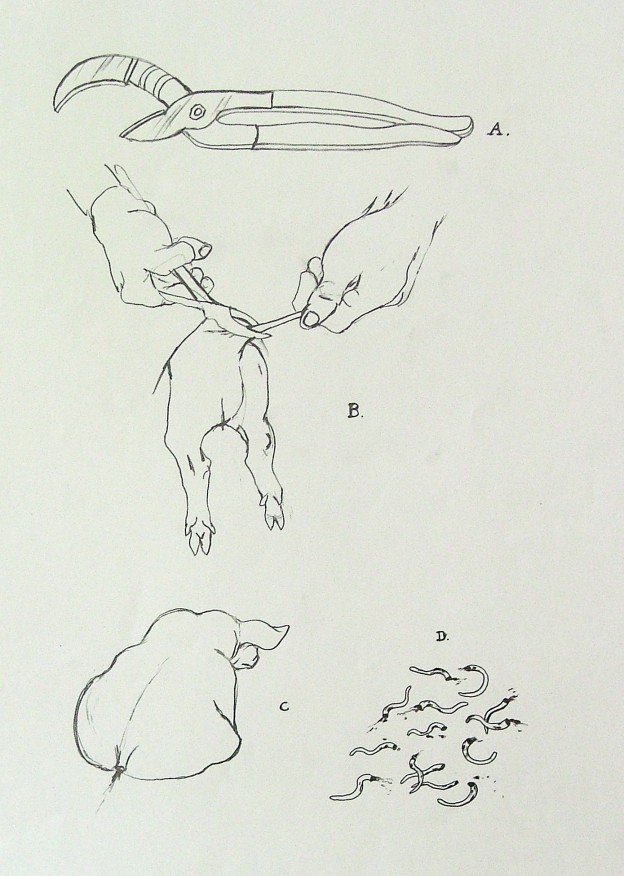 tail docking of piglets