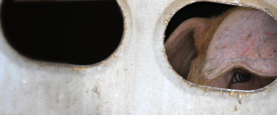 An1mal - pig in truck