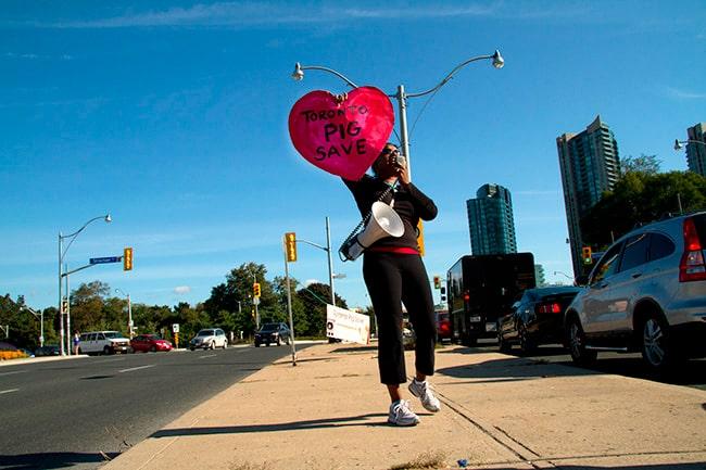Toronto Pig Save heart