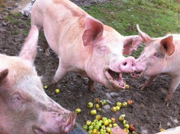 pigs enjoying apples