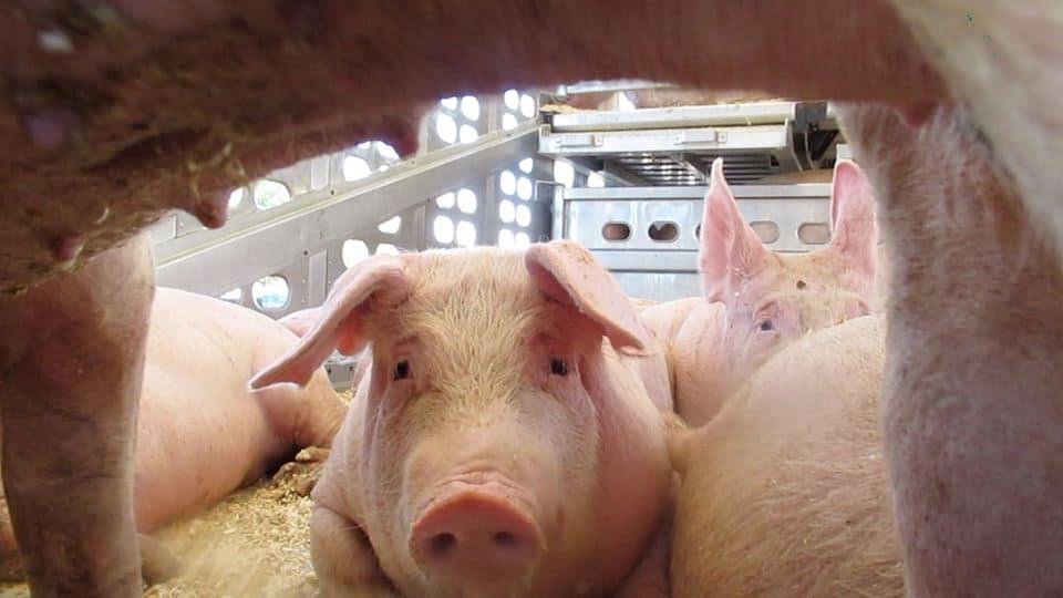 Toronto pig save vigil