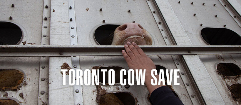 Toronto cow save vigil