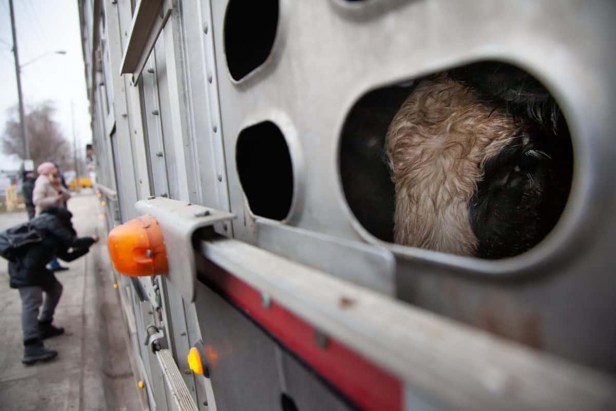 Toronto cow save vigil